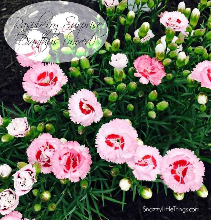 Monrovia Dianthus | by SnazzyLittleThings.com