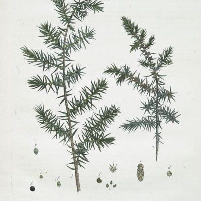 Juniper Vintage Botanical