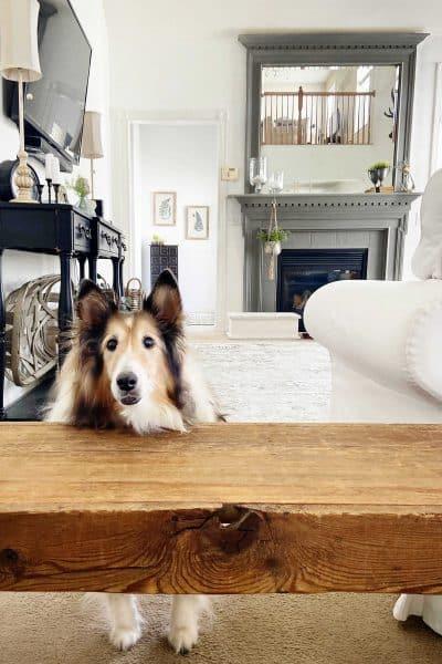 Older Sheltie Dog on Carpet